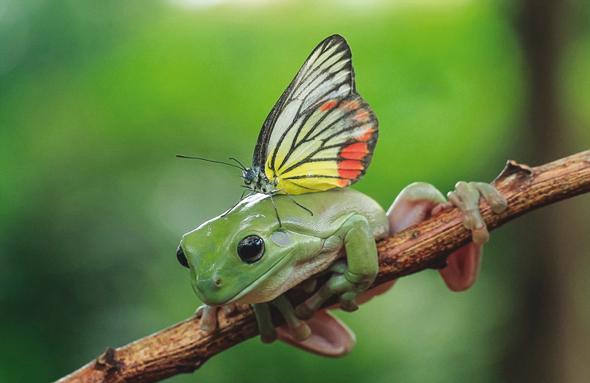 grenouille-papillon